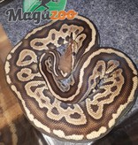 Magazoo Python Royal Red Axanthic het génétique stripe Mâle