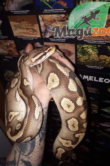 Magazoo Python Royal Mojave Pastel Mâle