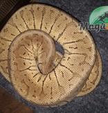 Magazoo Python Royal Pinstripe Pastel Mâle