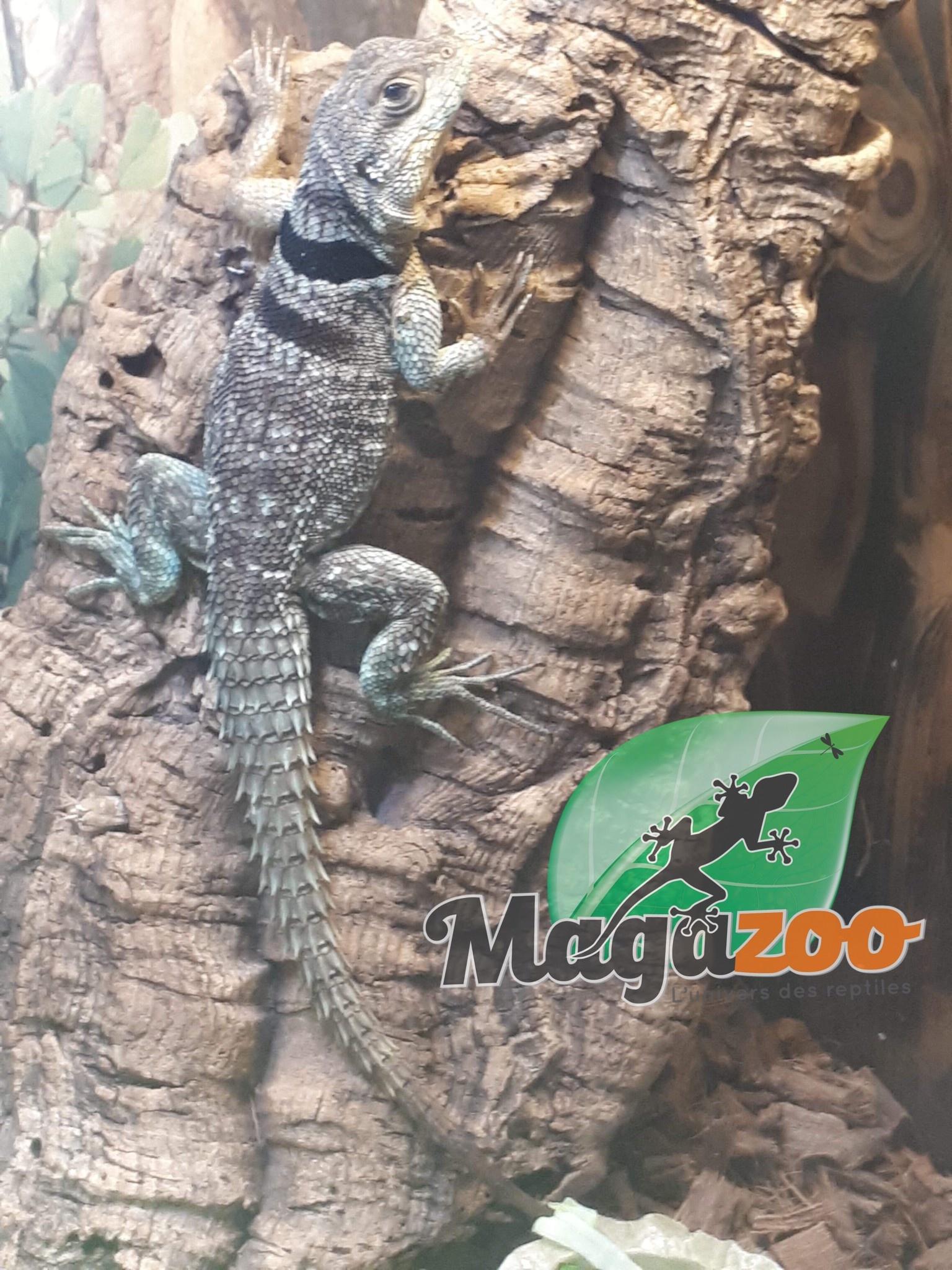 Magazoo Lézard  épineux de Madagascar