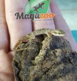 Magazoo Micro Gecko  du désert male