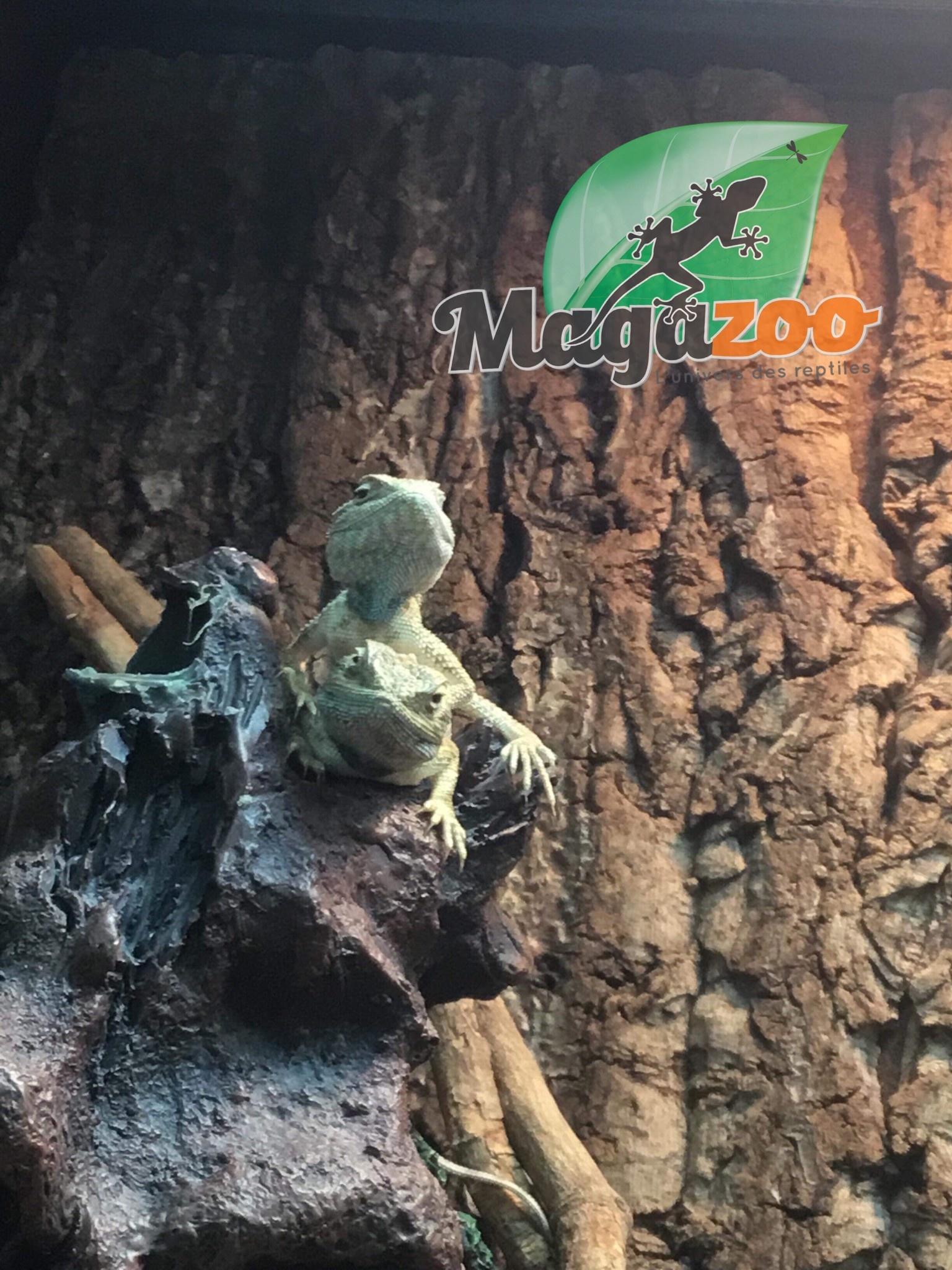 Magazoo Agame du désert