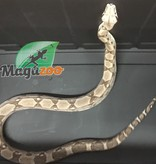 Magazoo Boa constrictor colombien ghost (femelle sub-adulte)