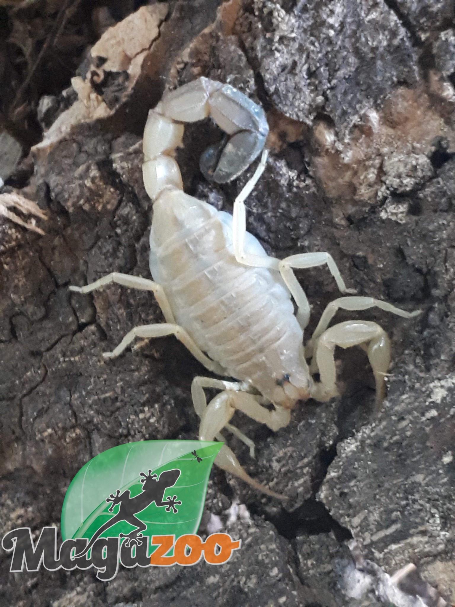 Scorpion Languedocien/Buthus occitanus