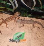 Magazoo Gecko Élégant Mâle