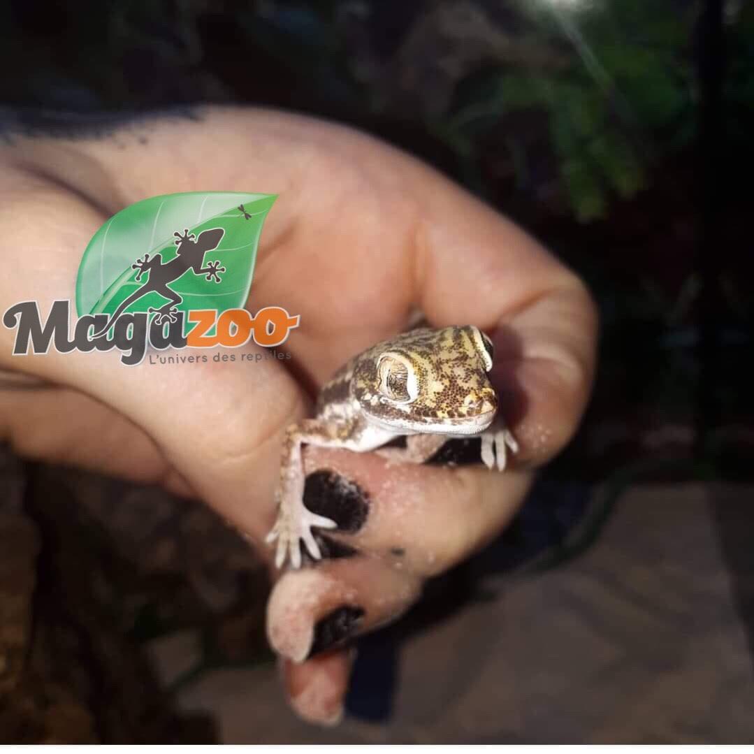 Magazoo Gecko nain des sables (Dori) mâle