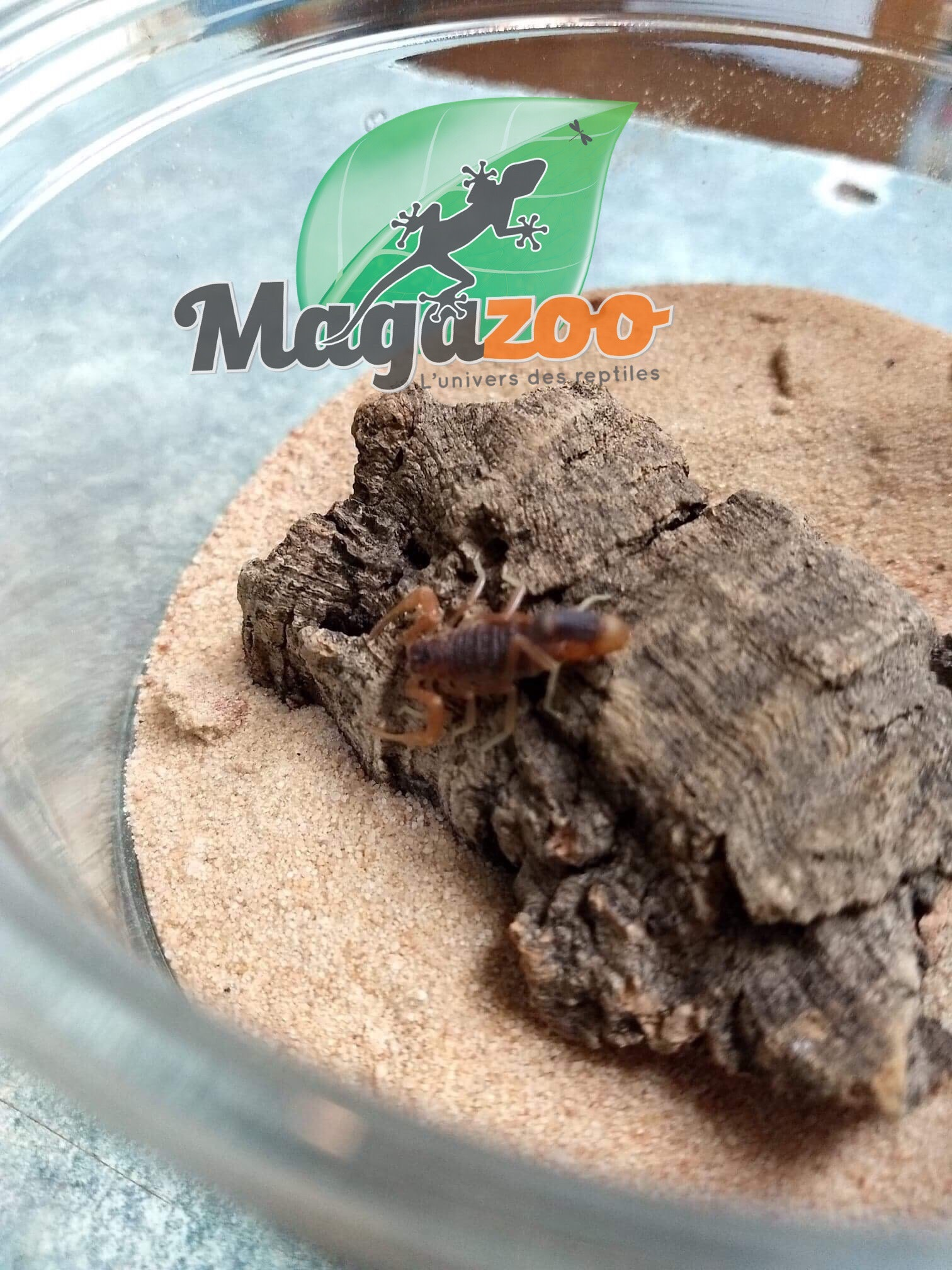 Magazoo Scorpion de Tanzanie/Parabuthus maximus (mâle)