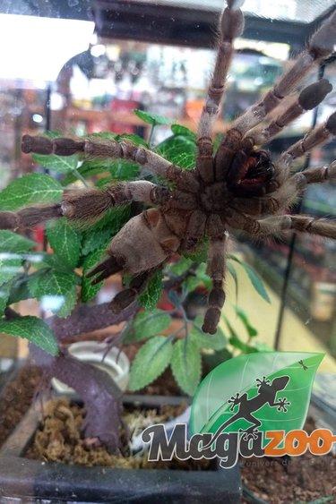 Magazoo Mygale ornementale du Togo (Heteroscodra maculata)