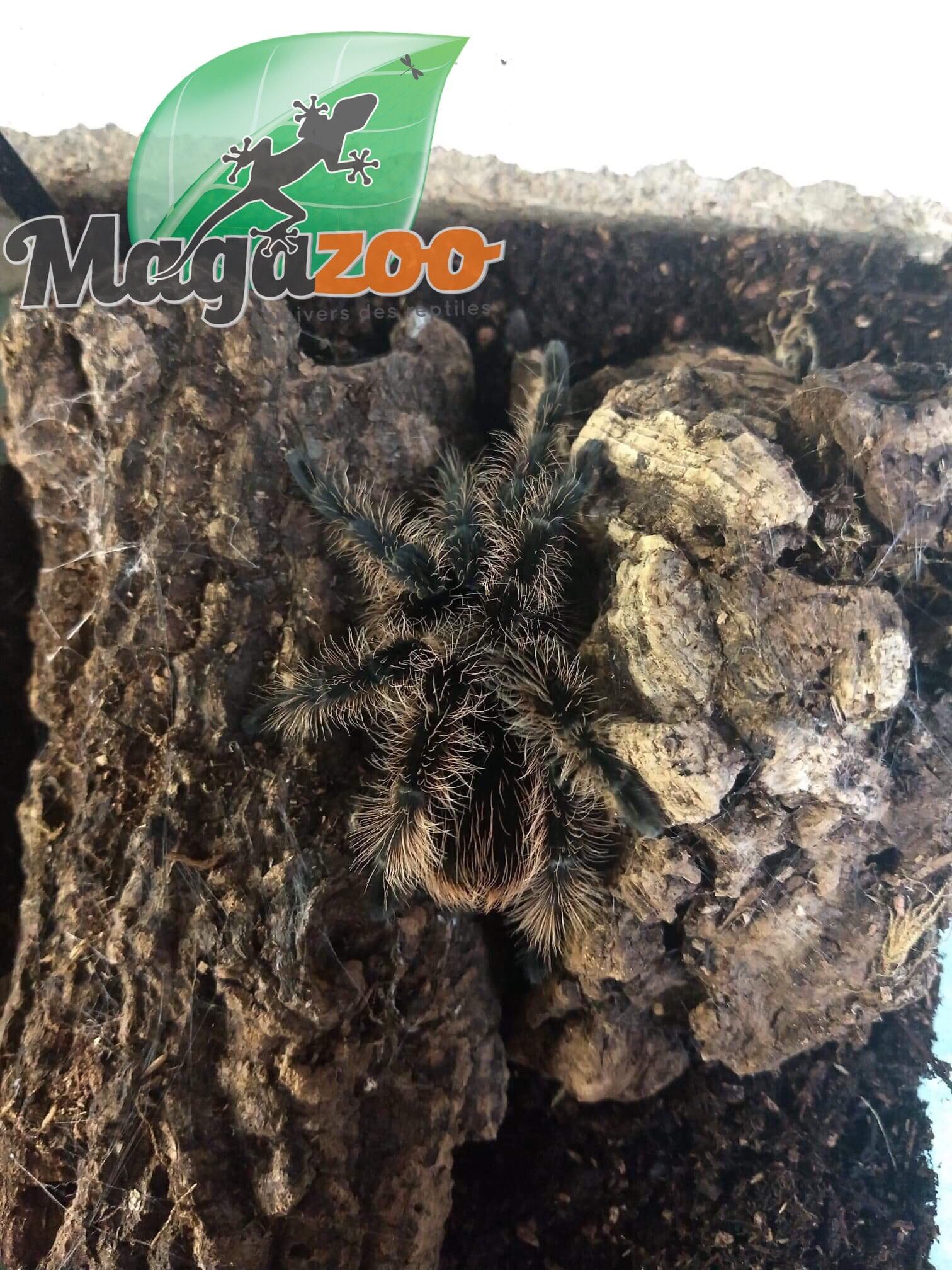 Magazoo Mygale frisée (3'')/Brachypelma albopilosum