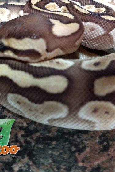 Magazoo Python royal butter het clown (bébé femelle)