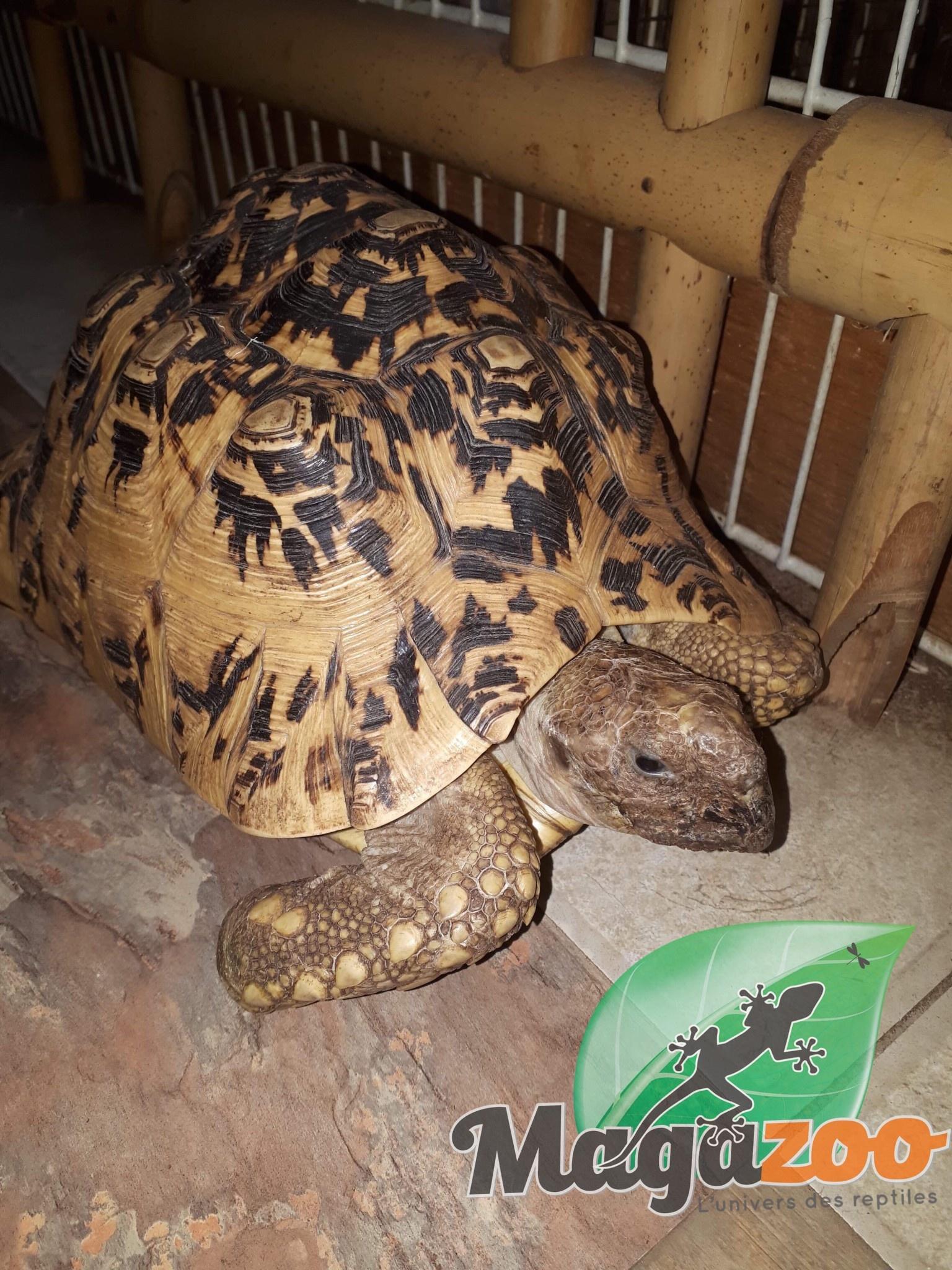 Magazoo Tortue Léopard femelle