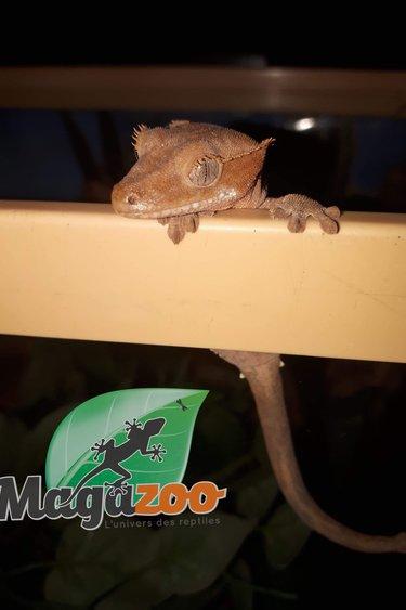 Gecko à crête Bicolor (Femelle) bébé