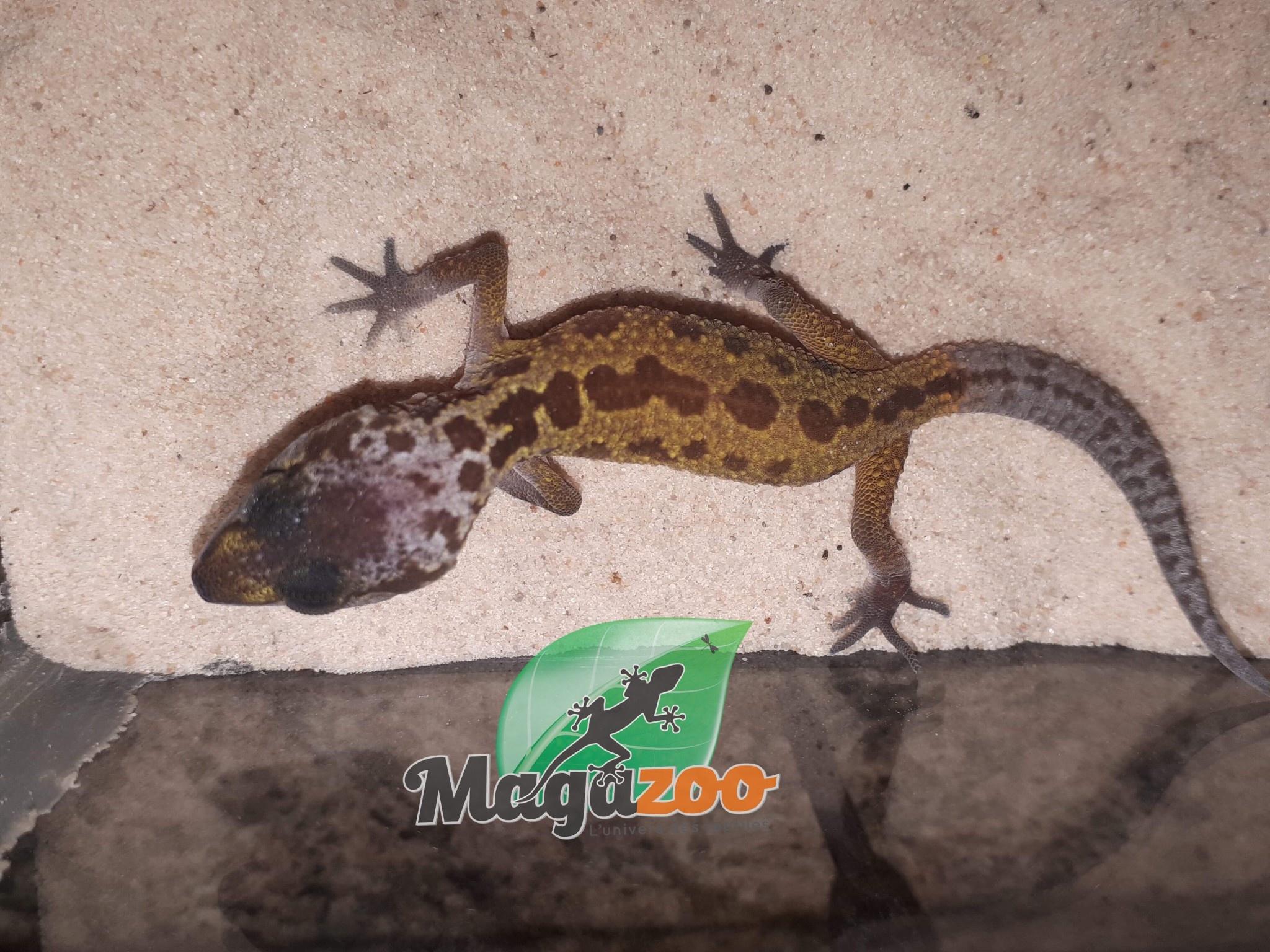 Magazoo Gecko Léopard patternless