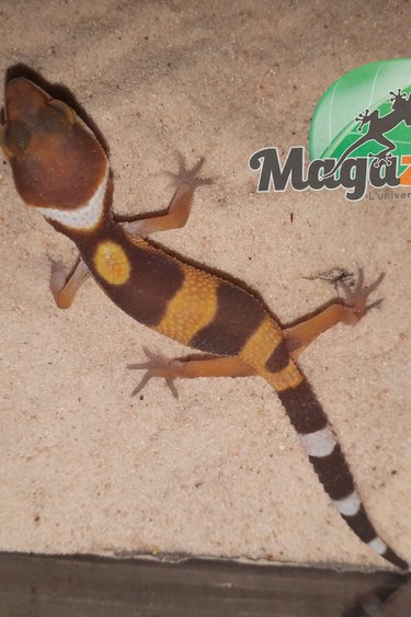 Magazoo Gecko léopard Tangerine Tremper Albino
