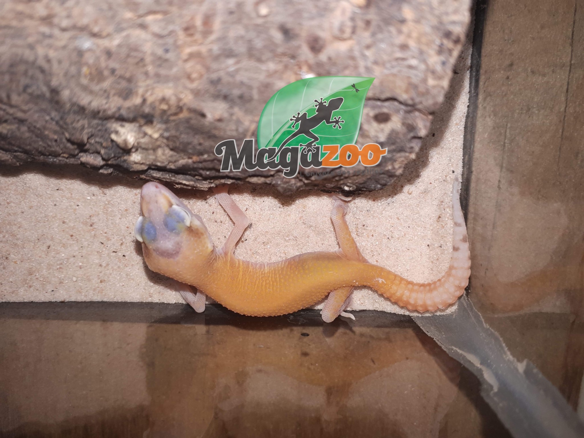 Gecko Léopard Raptor Bébé