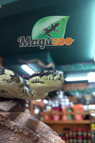 Magazoo Python tapis Irian jaya Mâle (juvénile)