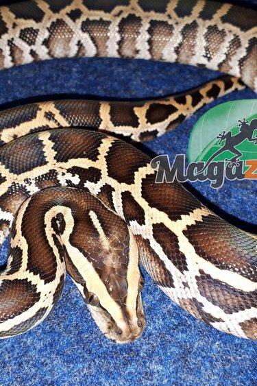 Magazoo Python de birmanie 83.33% possible het caramel (femelle)
