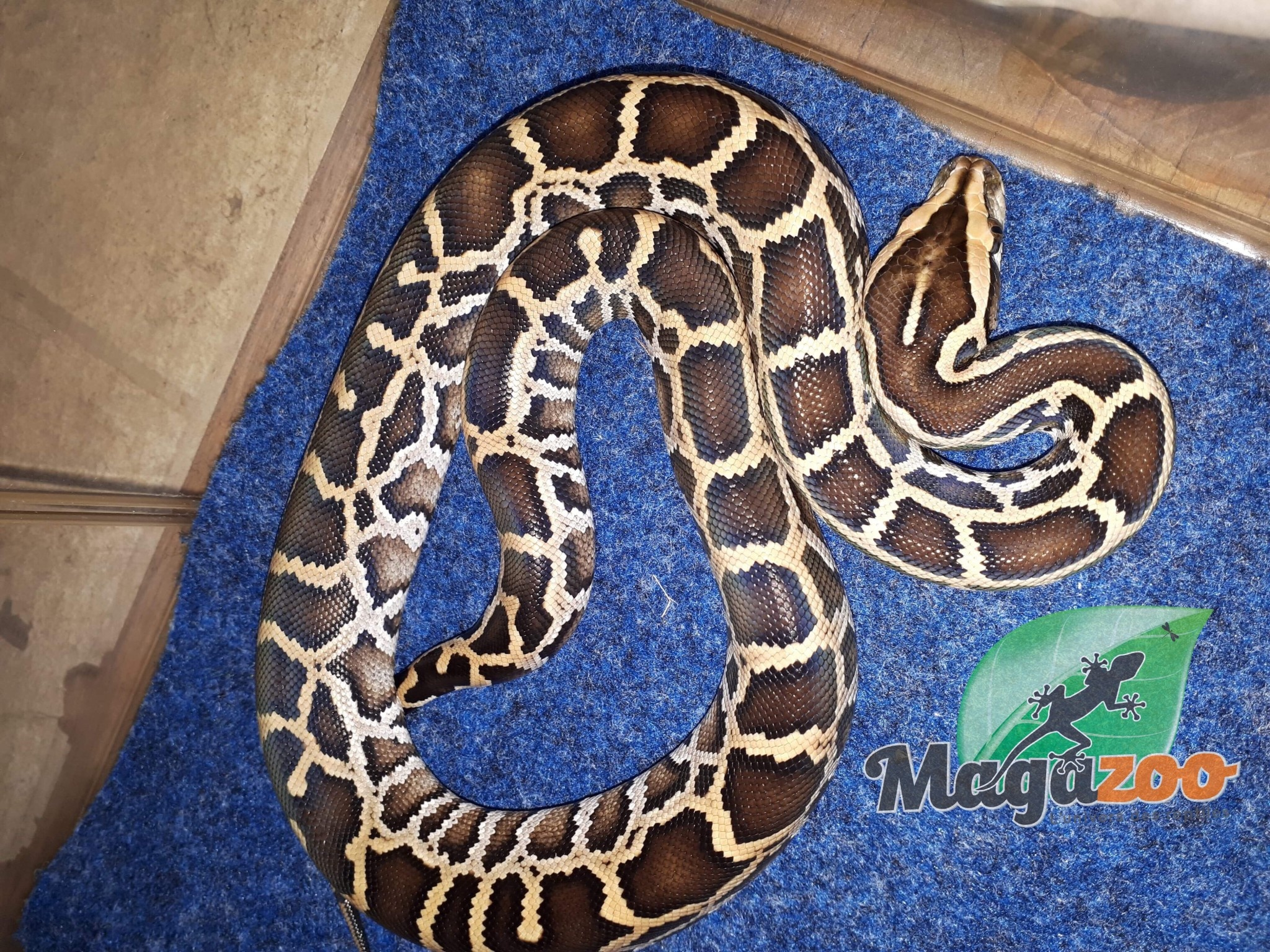 Magazoo Python de birmanie 83.33% possible het caramel (femelle)