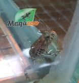 Magazoo Crapaud sonneur orientale bébé né en captivité