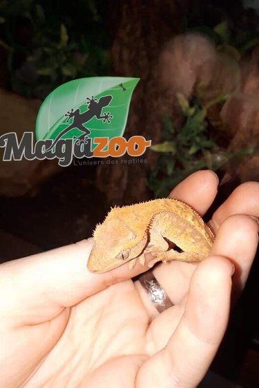 Magazoo Gecko à crête Flame (Femelle)