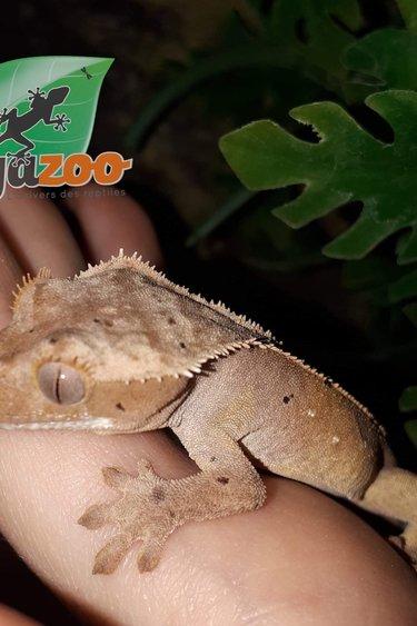 Gecko à crête Tiger Dalmatien Pinstripe (Mâle)