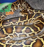 Magazoo Python de birmanie 83.33% possible het caramel (mâle)