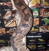 Magazoo Python Royal Régulier (Femelle) Adulte