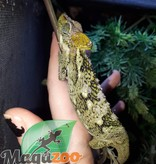 Caméléon à casque femelle