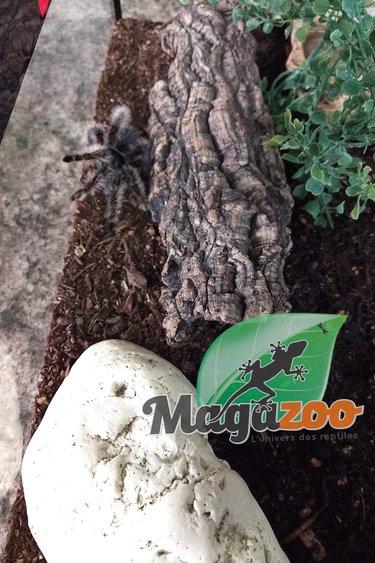 Magazoo Mygale frisé + terrarium équipé