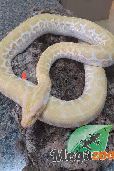 Magazoo Python birman Pearl (albino hypo) (femelle)