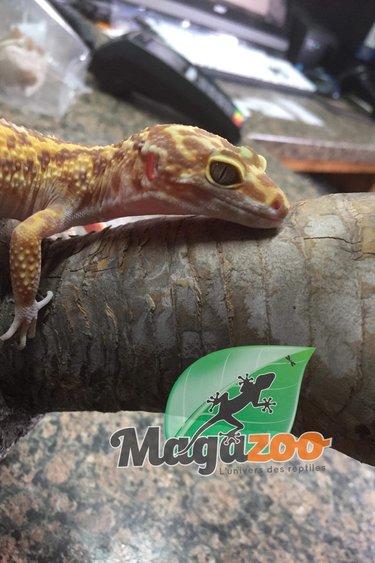 Magazoo Gecko léopard bell albino (femelle)