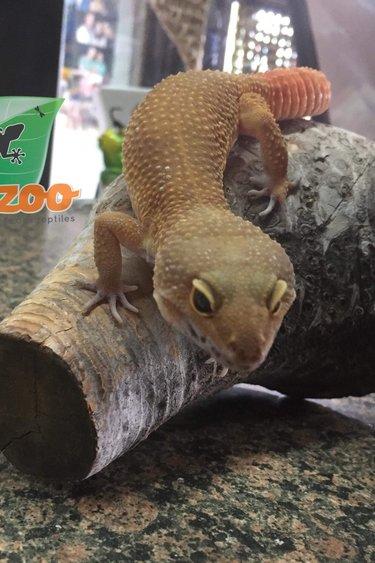 Magazoo Gecko léopard tangerine carrot tail (Mâle)