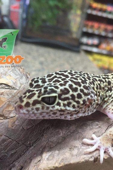 Magazoo Gecko léopard régulier (femelle)