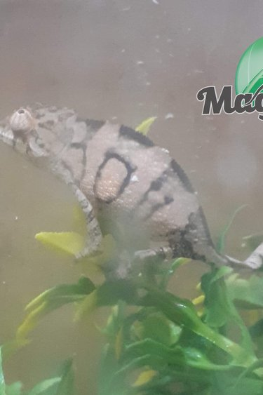 Magazoo Caméléon panthère Femelle Ambato