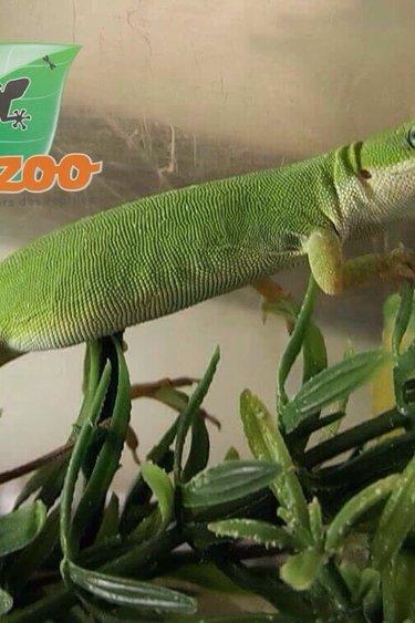 Magazoo Anolis vert Femelle