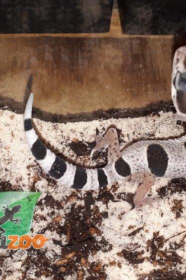 Gecko léopard mack snow