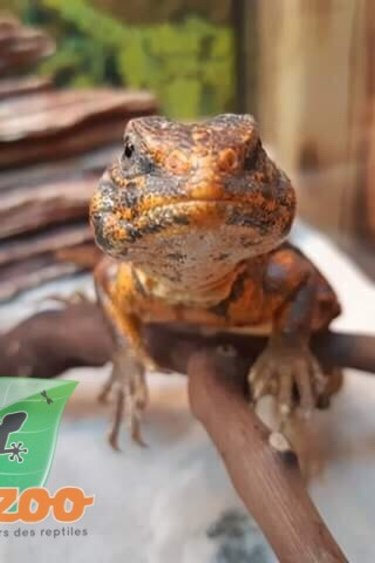 Magazoo Uromastyx du Niger Orange