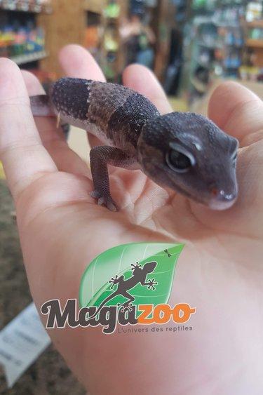 Magazoo Gecko à queue grasse Mâle