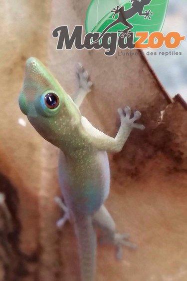 Magazoo Gecko Diurne poussière d'or bébé