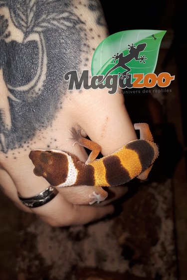 Magazoo Gecko léopard high yellow