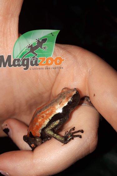 Magazoo Grenouille Marcheuse rouge & noir