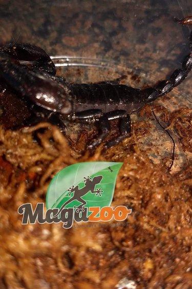 Magazoo Scorpion rouge des cavernes/Pandinus viatoris