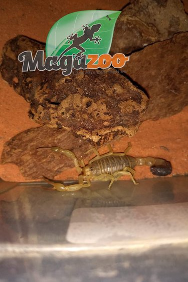 Magazoo Scorpion jaune ''fat tail''/Androctonus australis