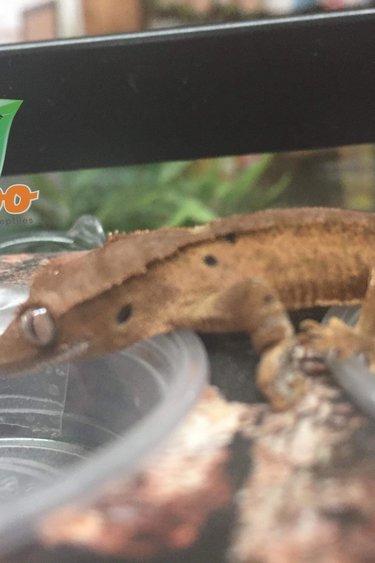 Magazoo Gecko à crête dalmatien bébé