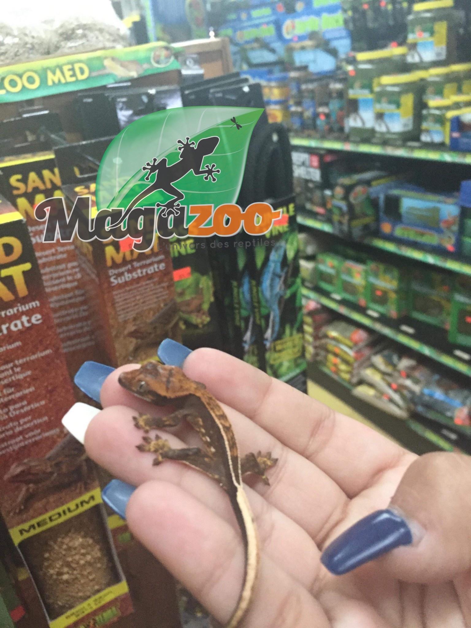 Magazoo Gecko à crête Full pinstripe harlequin Bébé
