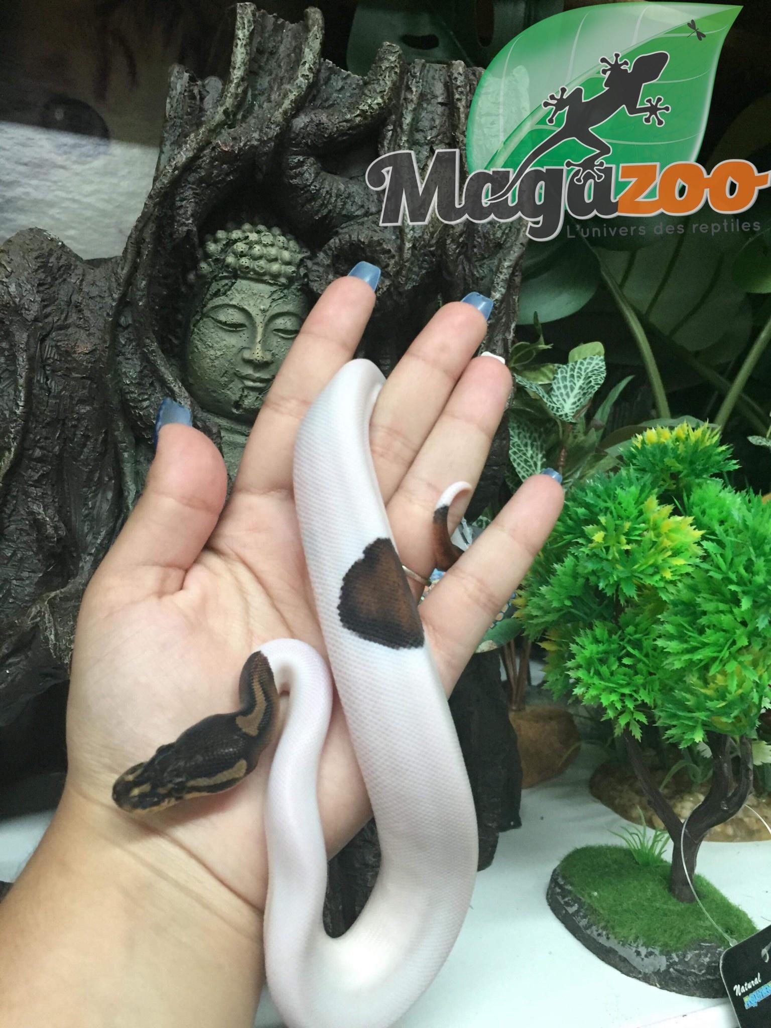 Magazoo Python royal black pastel Piebald Mâle