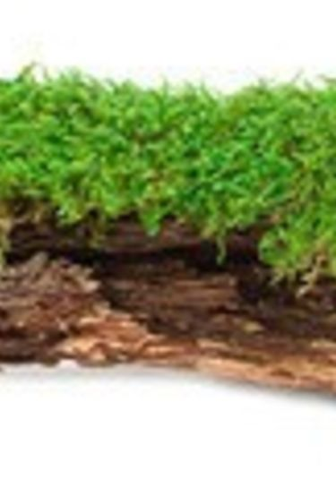 "Galapagos Mousse Naturel 12 - 15"" de long/Basking Bark  Moss"