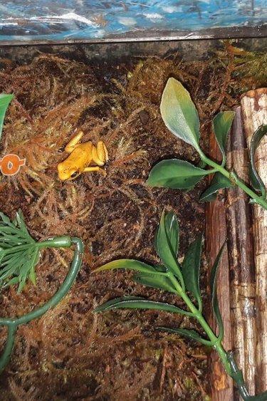 Magazoo Grenouille poison Phyllobates terribilis Jaune Juvénile