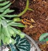 Magazoo Grenouille poison Phyllobates terribilis Jaune bébé