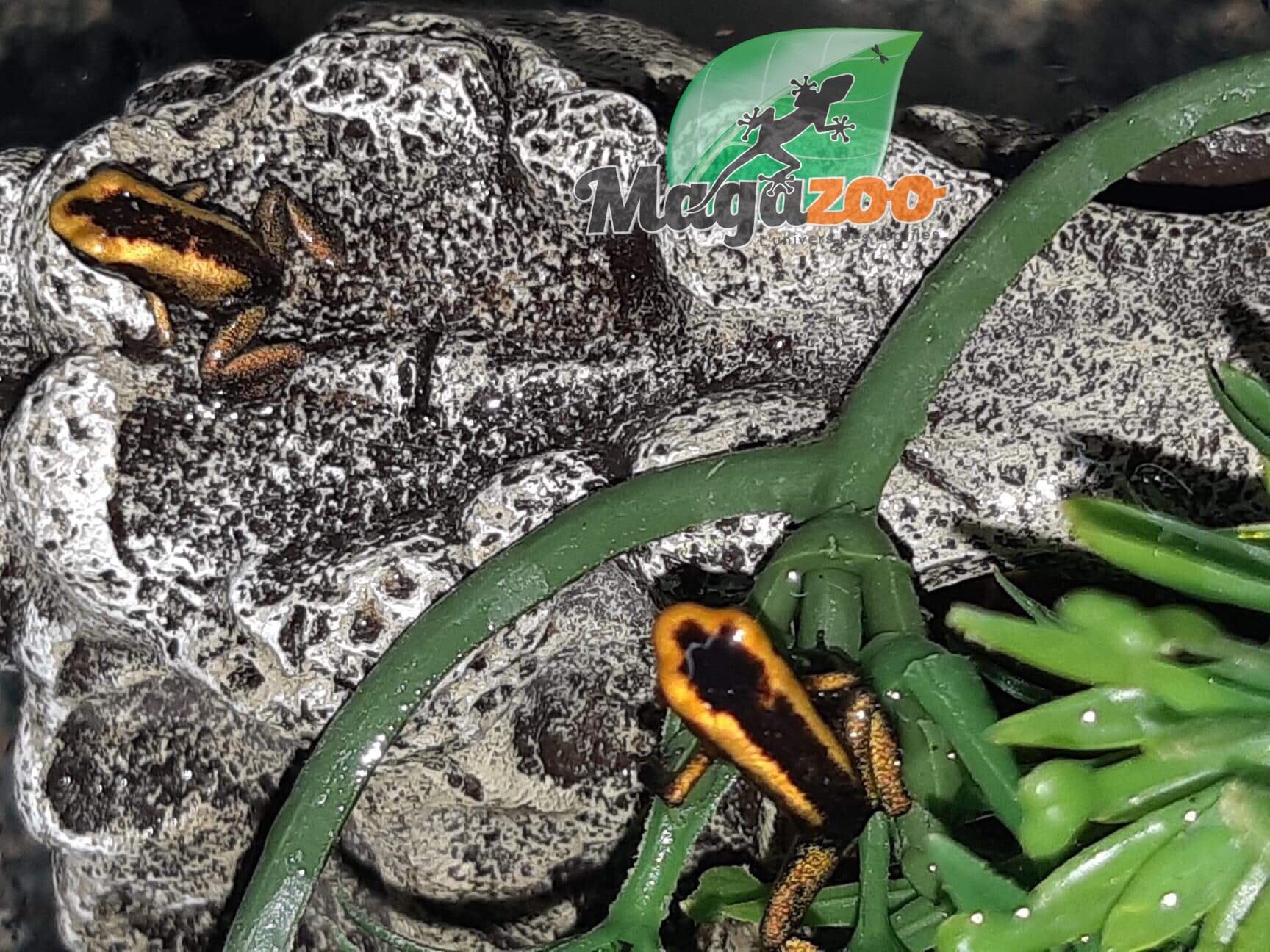 Magazoo Grenouille poison Phyllobates aterribilis Jaune bébé
